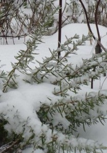 Rosemary in the snow