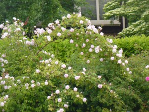 The rambling rose, showing pale pink petals