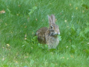 Wild rabbit on the lawn