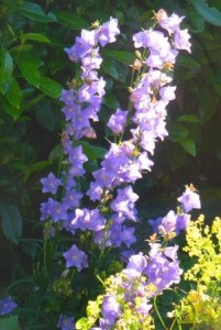 Canterbury bells in the sunlight
