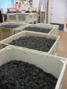 Bins of grapes