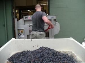 Crushed grapes in a fermentation bin