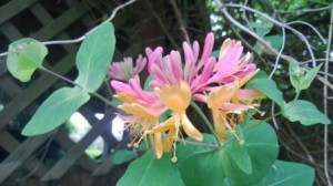 Honeysuckle flowering