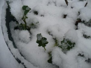 Kale under snow