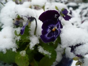 Winter pansies in the snow