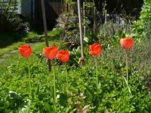 Orange tulips in the back yard