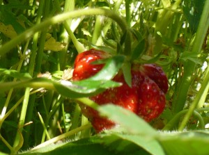 Strawberry hiding in the foliage