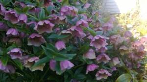 Hellebore blooming