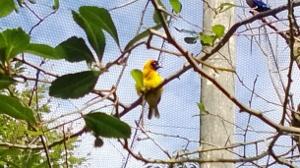 Weaverbird (300x168)