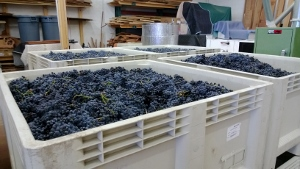 bins of wine grapes
