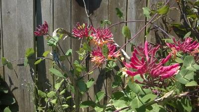 honeysuckle blooming