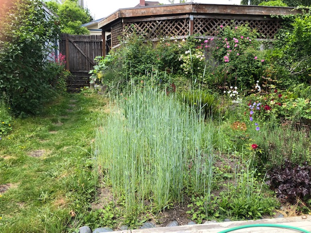 backyard with rye patch