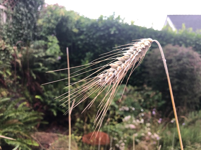 rye seed head close up