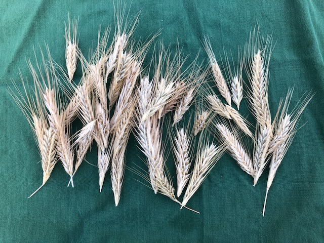 rye seed heads harvested