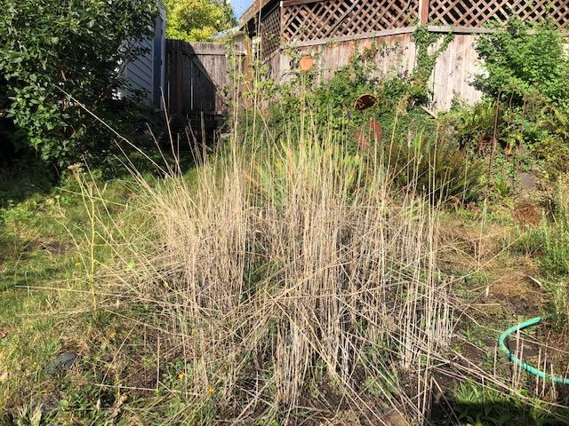 dead rye stalks